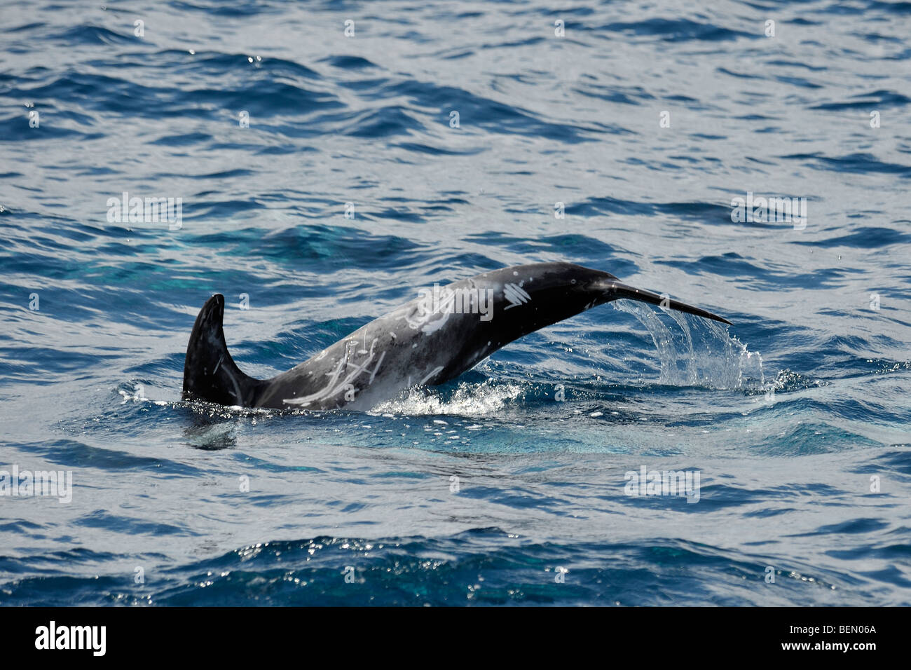 Risso's Dolphin, Grampus griseus, fluking before a dive, Azores, Atlantic Ocean. - Stock Image