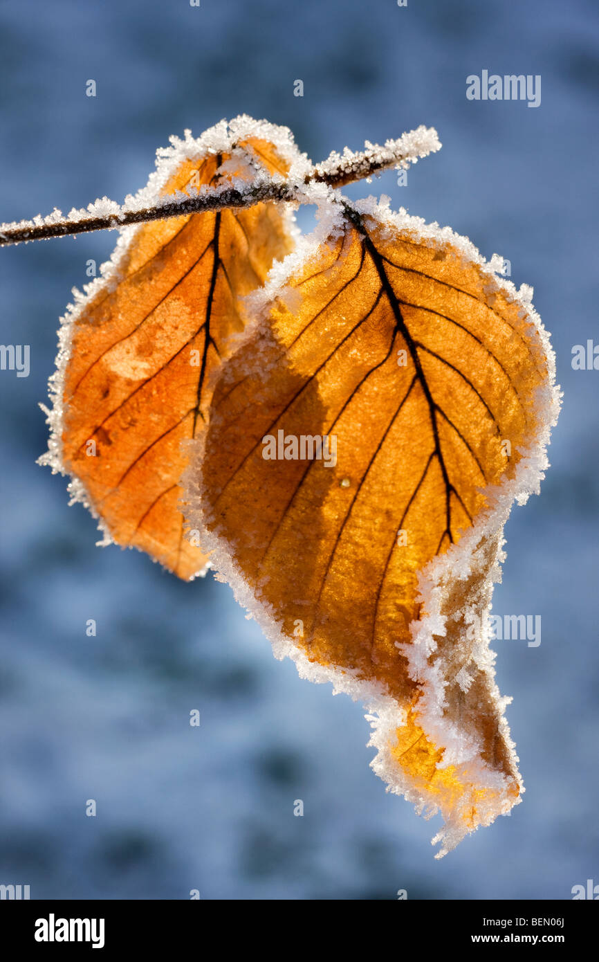 Beech leaves (Fagus sylvatica) covered in frost in winter, Belgium - Stock Image