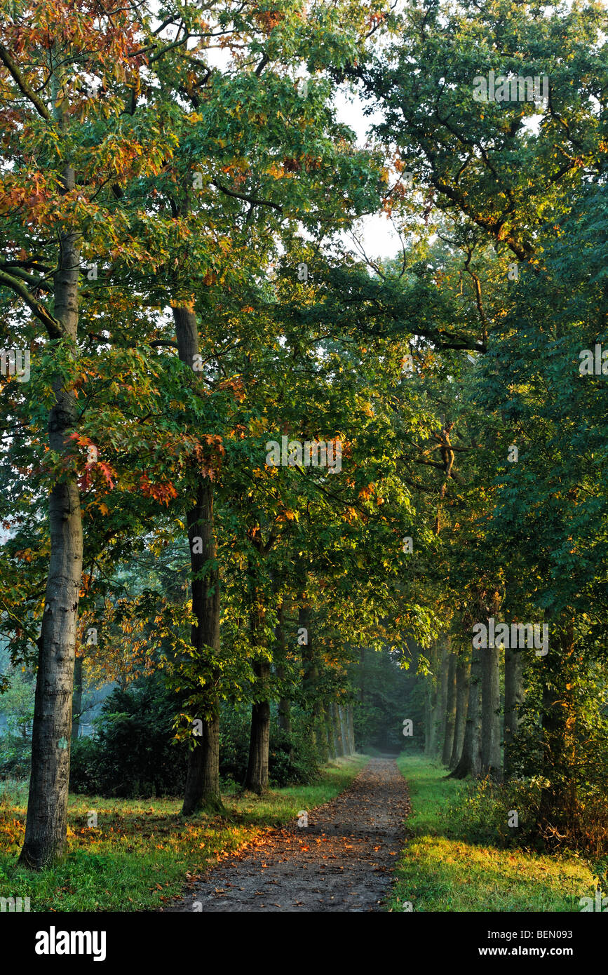 Avenue with northern red oaks (Quercus rubra) in autumn - Stock Image