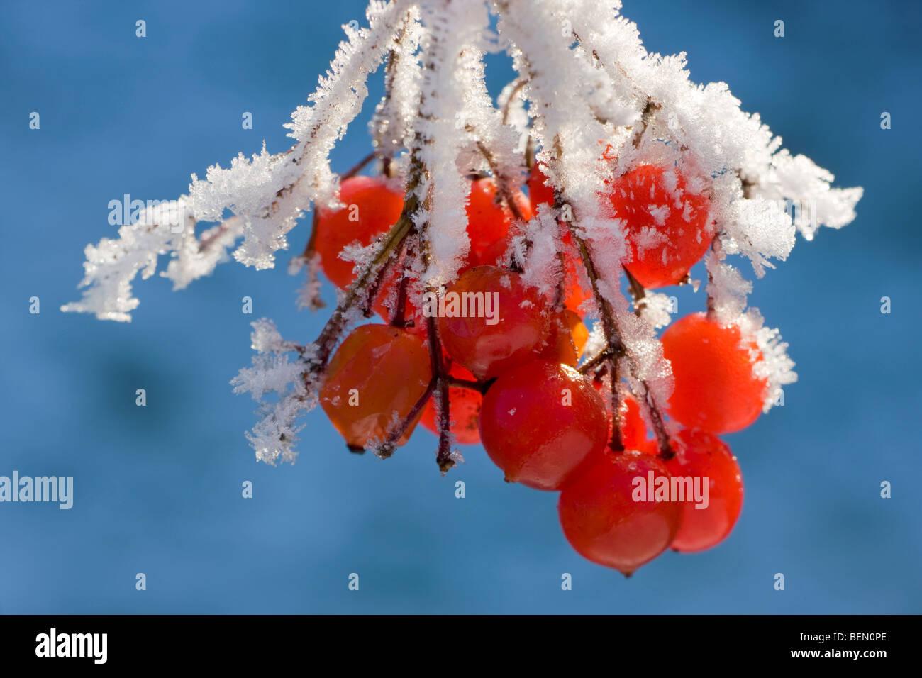 Guelder Rose / Water Elder / Cramp Bark / Snowbell Tree (Viburnum opulus) red berries covered in hoarfrost in winter - Stock Image