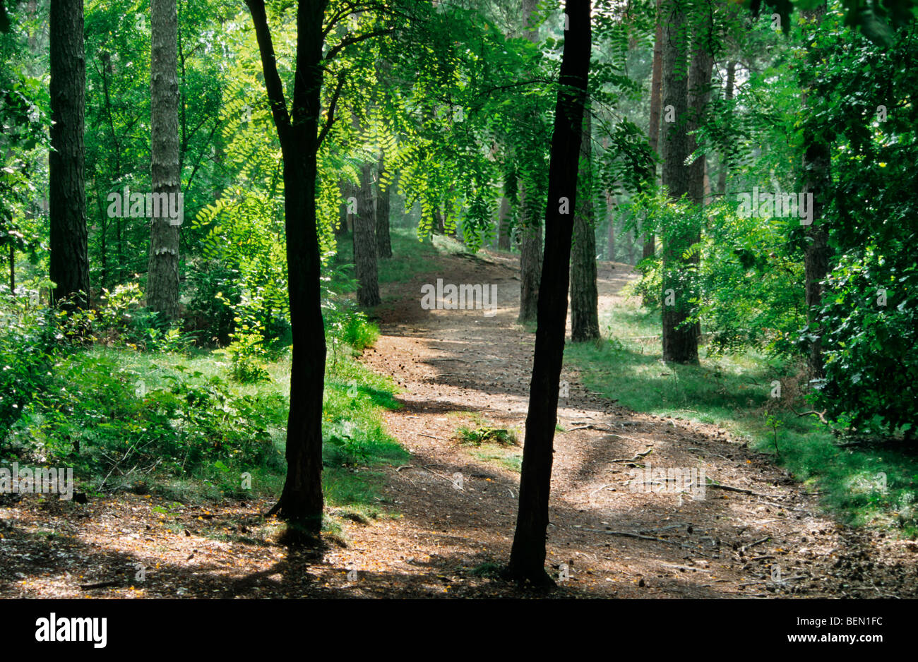 Path in the forest Naaldbos at Kasterlee, Belgium - Stock Image