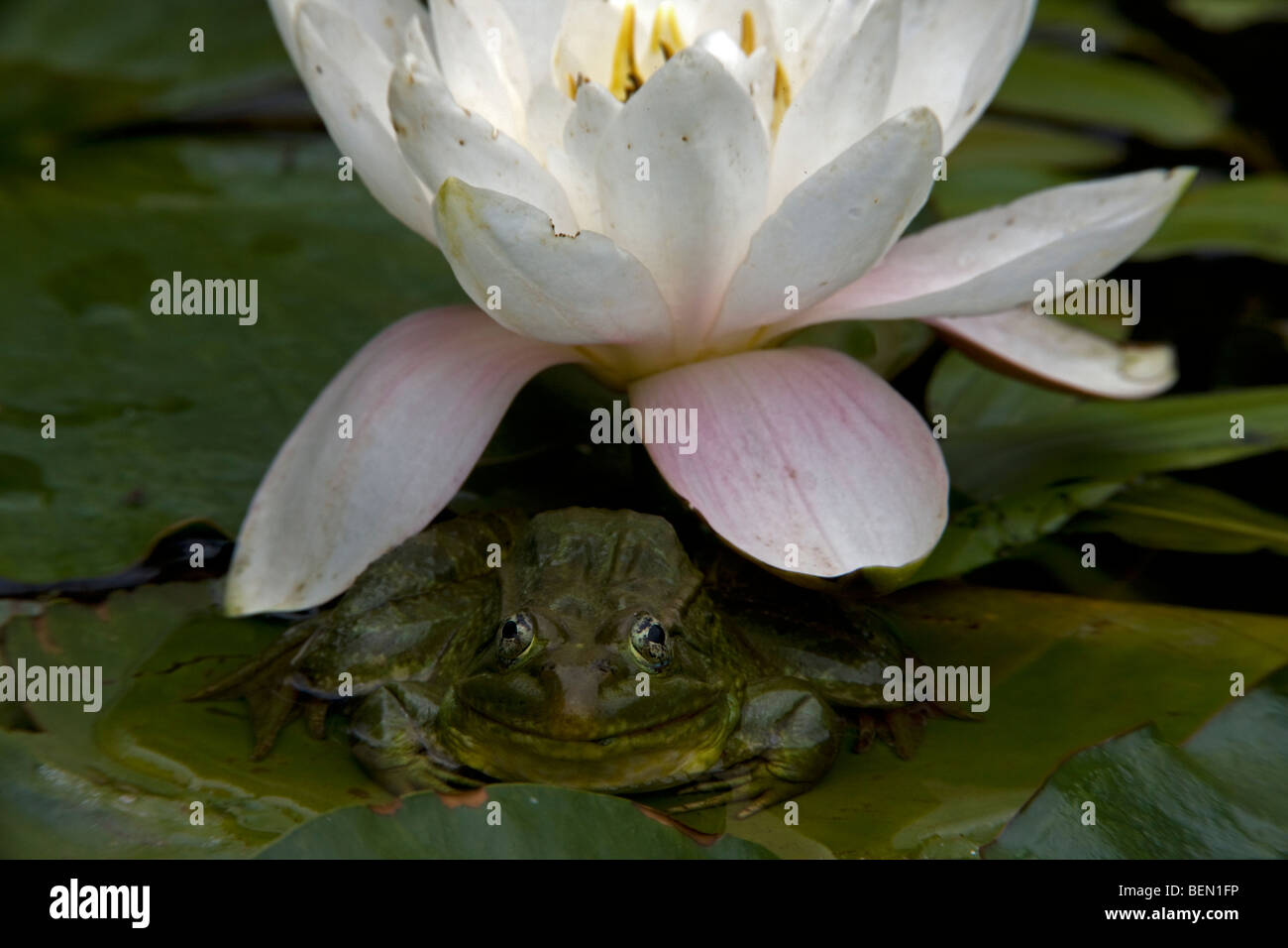 Lily flower under lily pad stock photos lily flower under lily pad chiricahua leopard frog rana chiricahuensis arizona usa on lily pad with izmirmasajfo