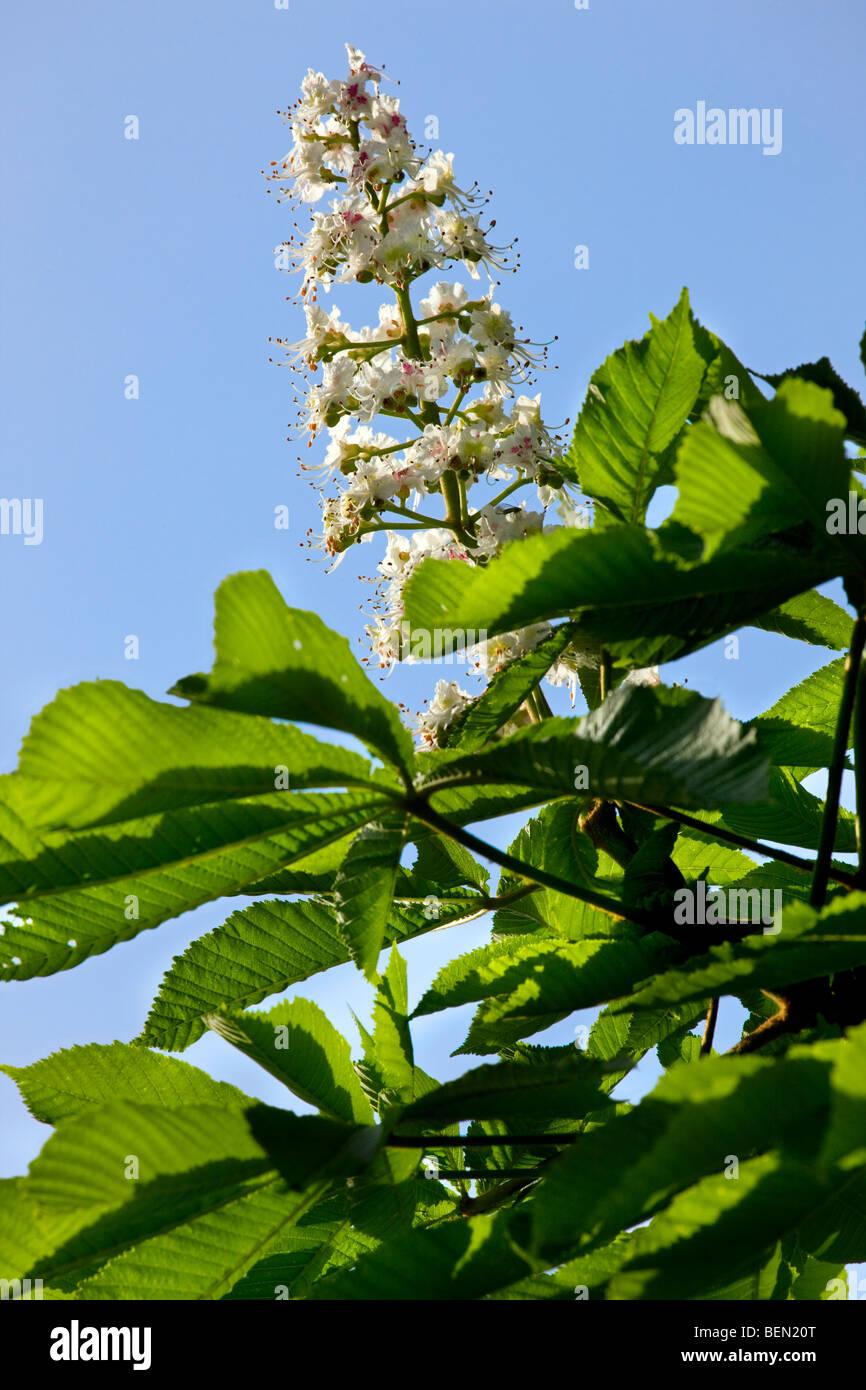 Horse chestnut flowers and leaves (Aesculus hippocastanum), Belgium - Stock Image
