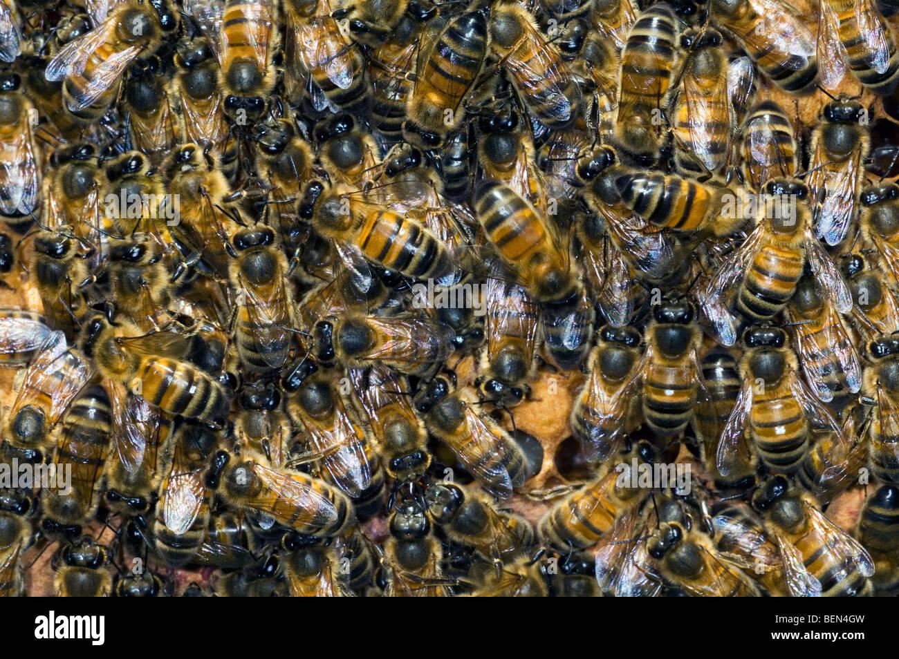 Honey bee workers (Apis mellifera) on honey comb, Belgium - Stock Image