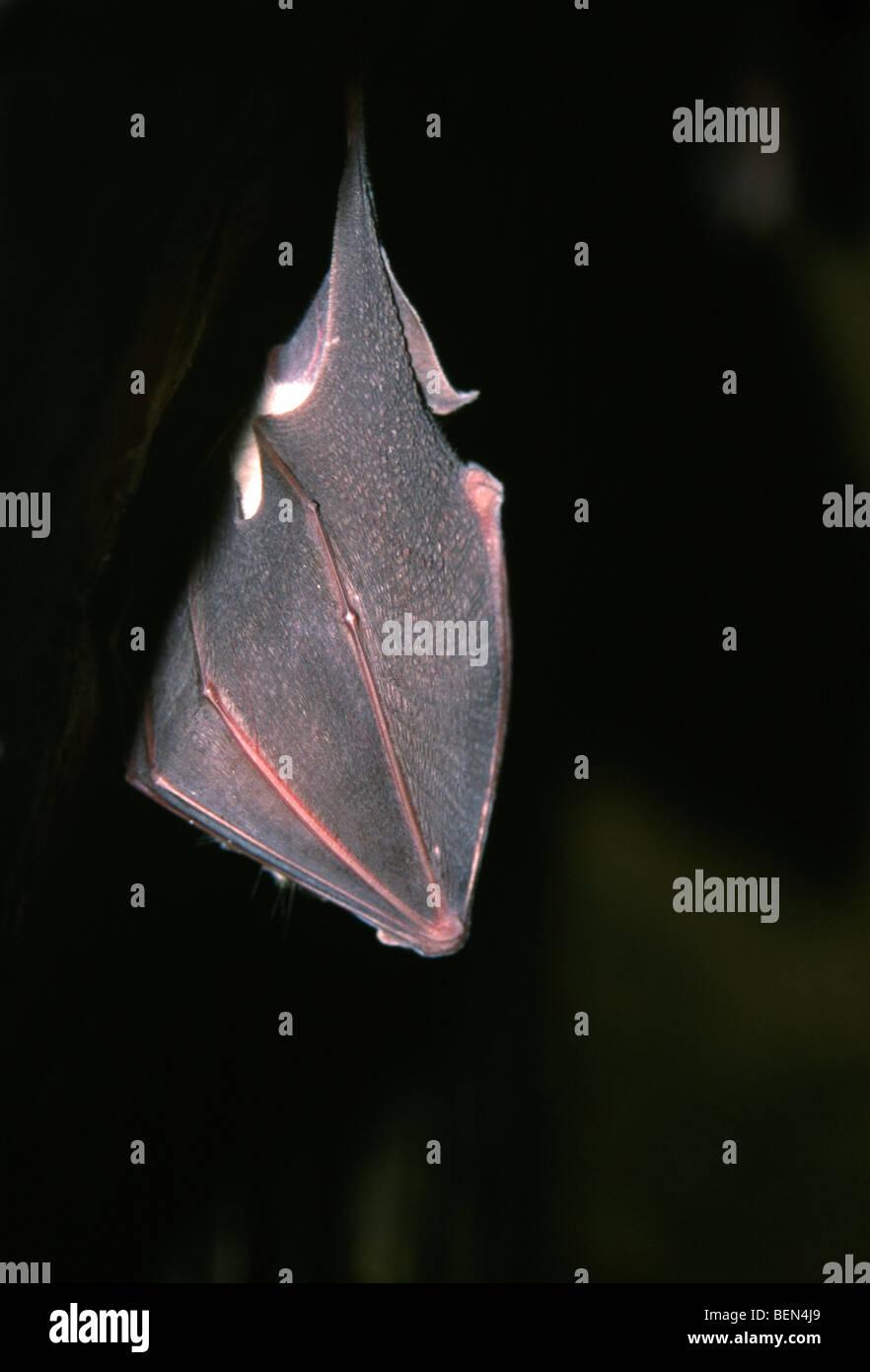 Hibernating Greater horseshoe bat (Rhinolophus ferrumequinum), France - Stock Image