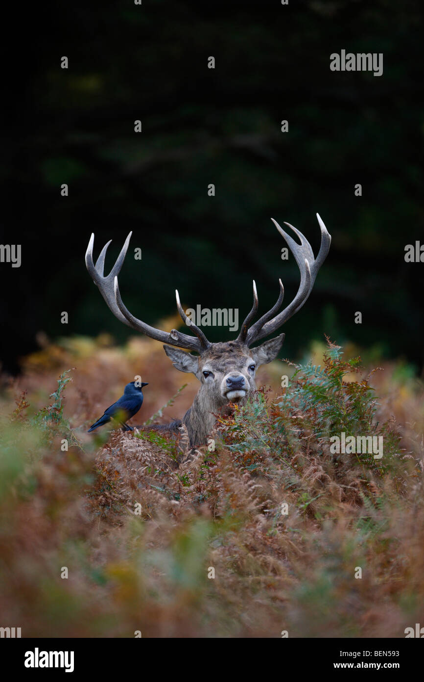Red Deer Cervus elaphus stag in bracken jackdaw - Stock Image