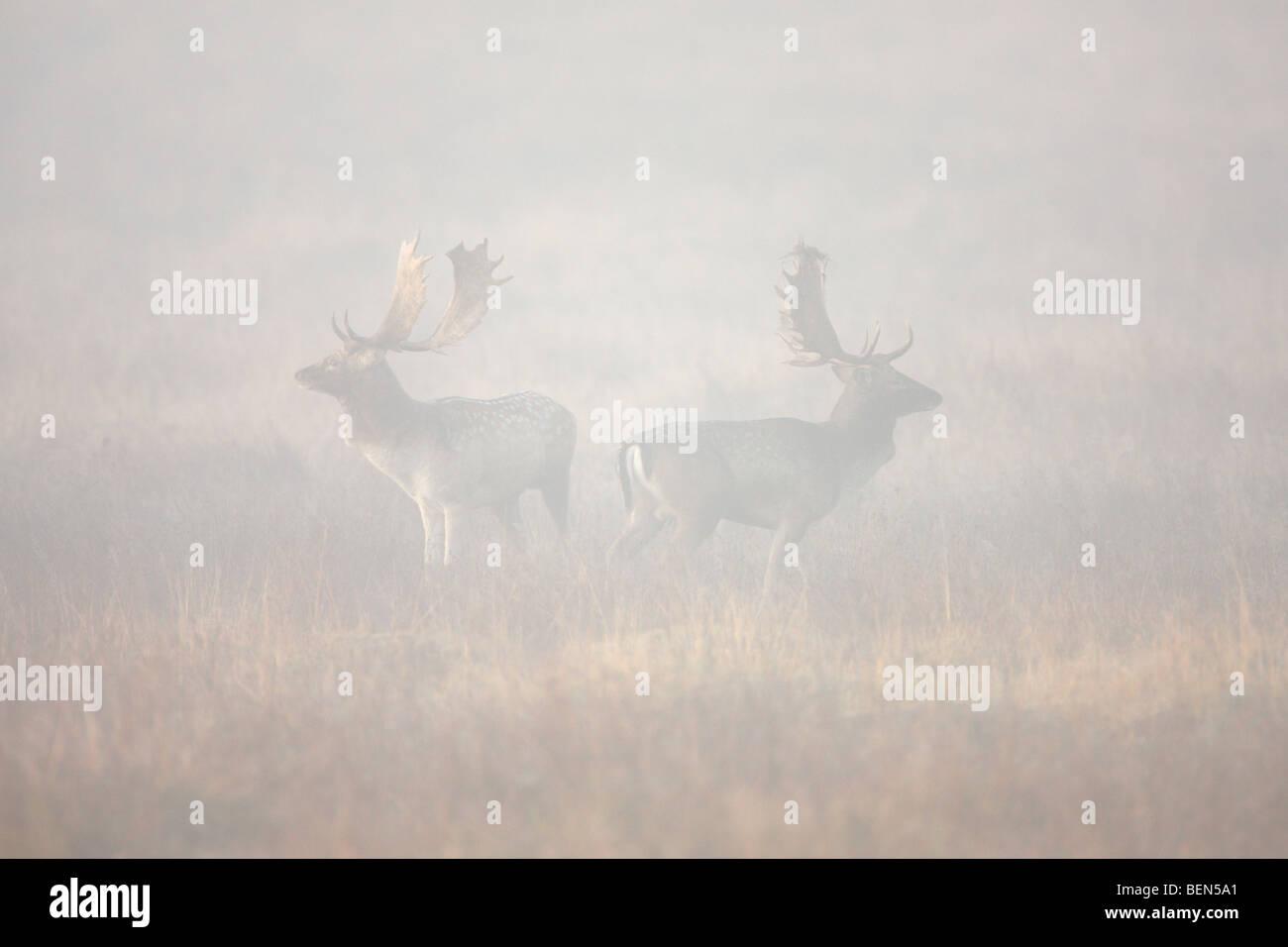 Fallow Deer Dama Dama bucks in fog - Stock Image