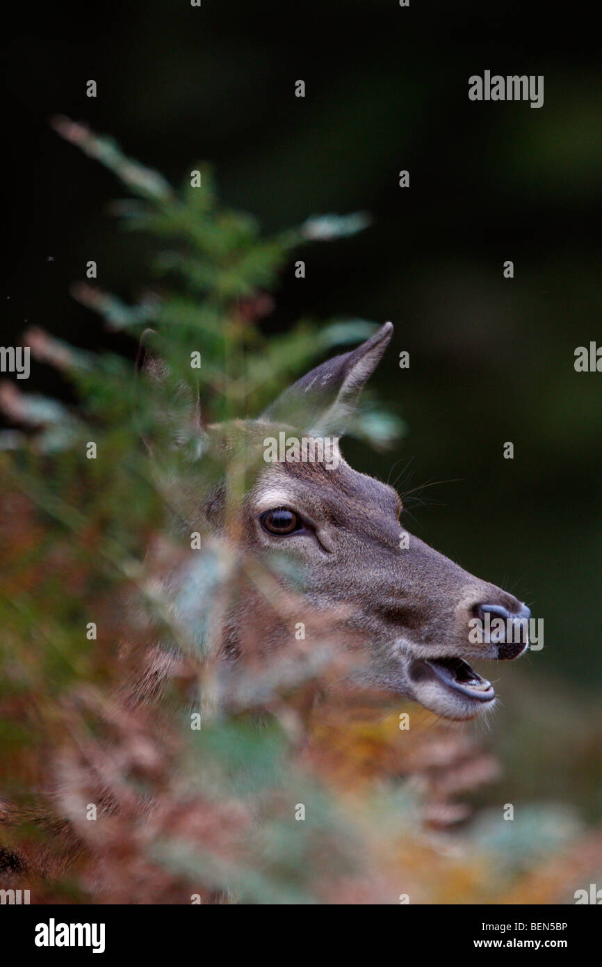 Red Deer Cervus elaphus hind in bracken - Stock Image