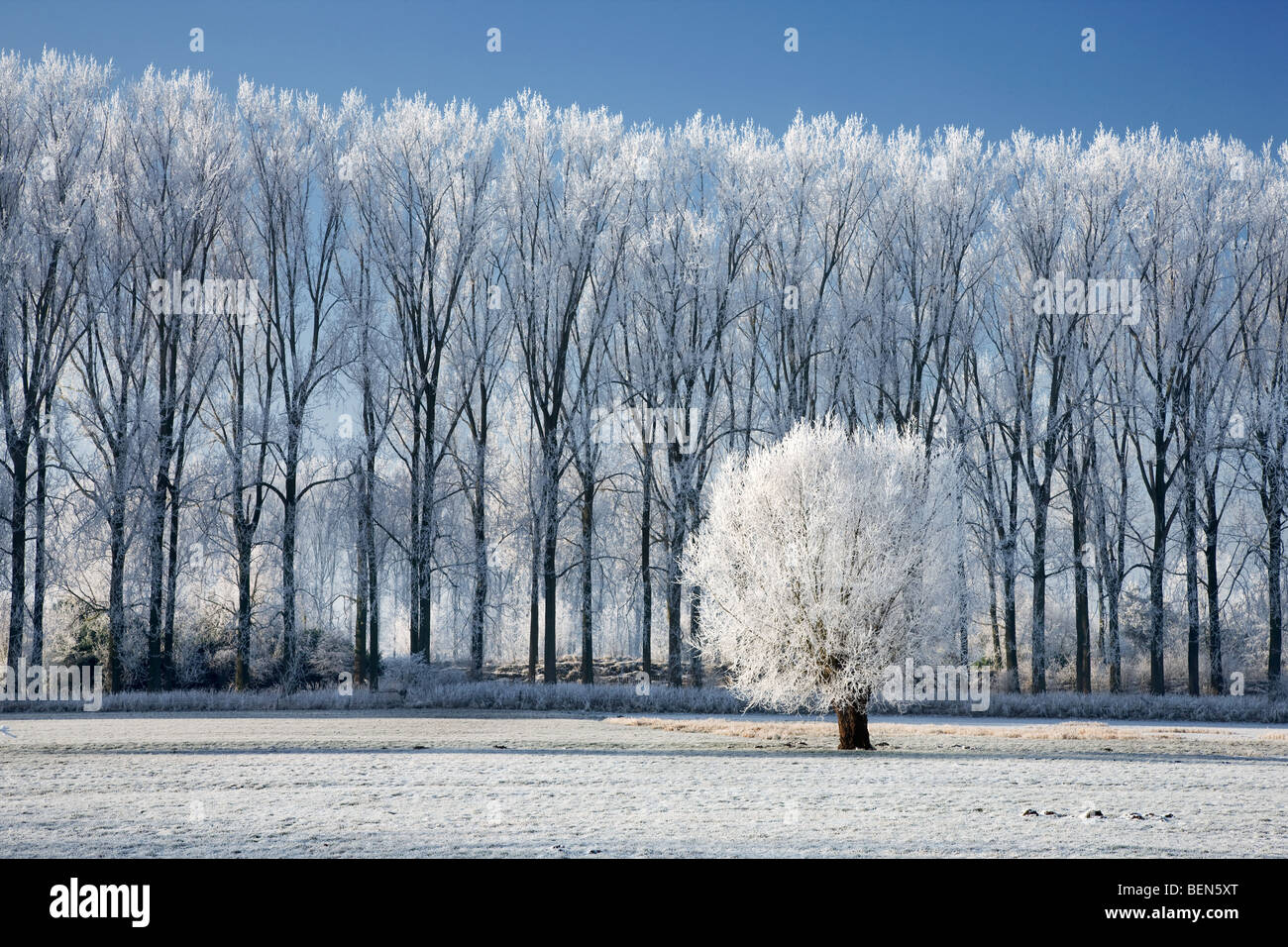 Pollard willow (Salix sp.) and poplars (Populus sp.) covered in hoarfrost in winter, Belgium - Stock Image