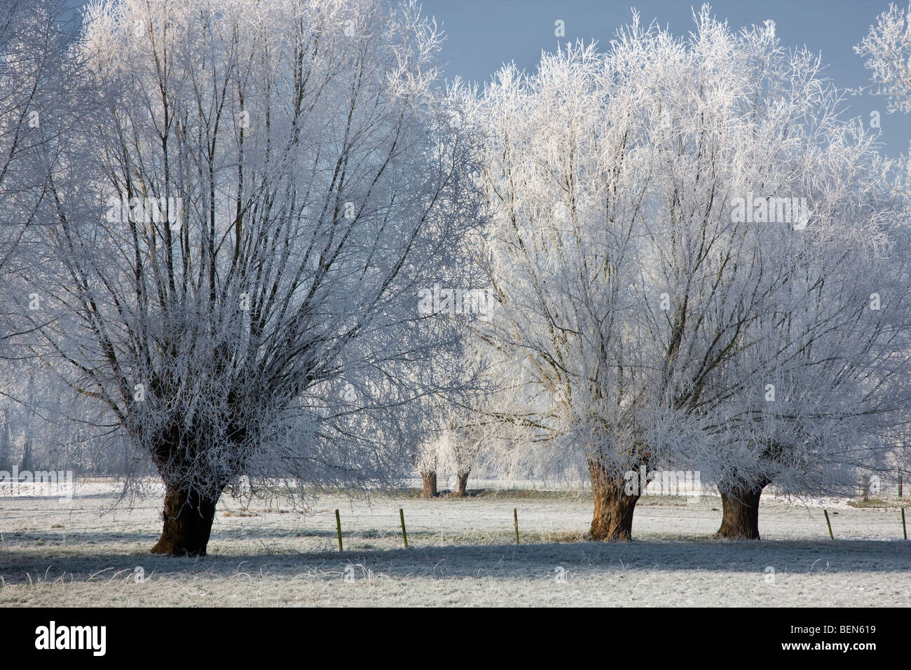 Pollard willows (Salix sp.) covered in hoarfrost in winter, Belgium - Stock Image