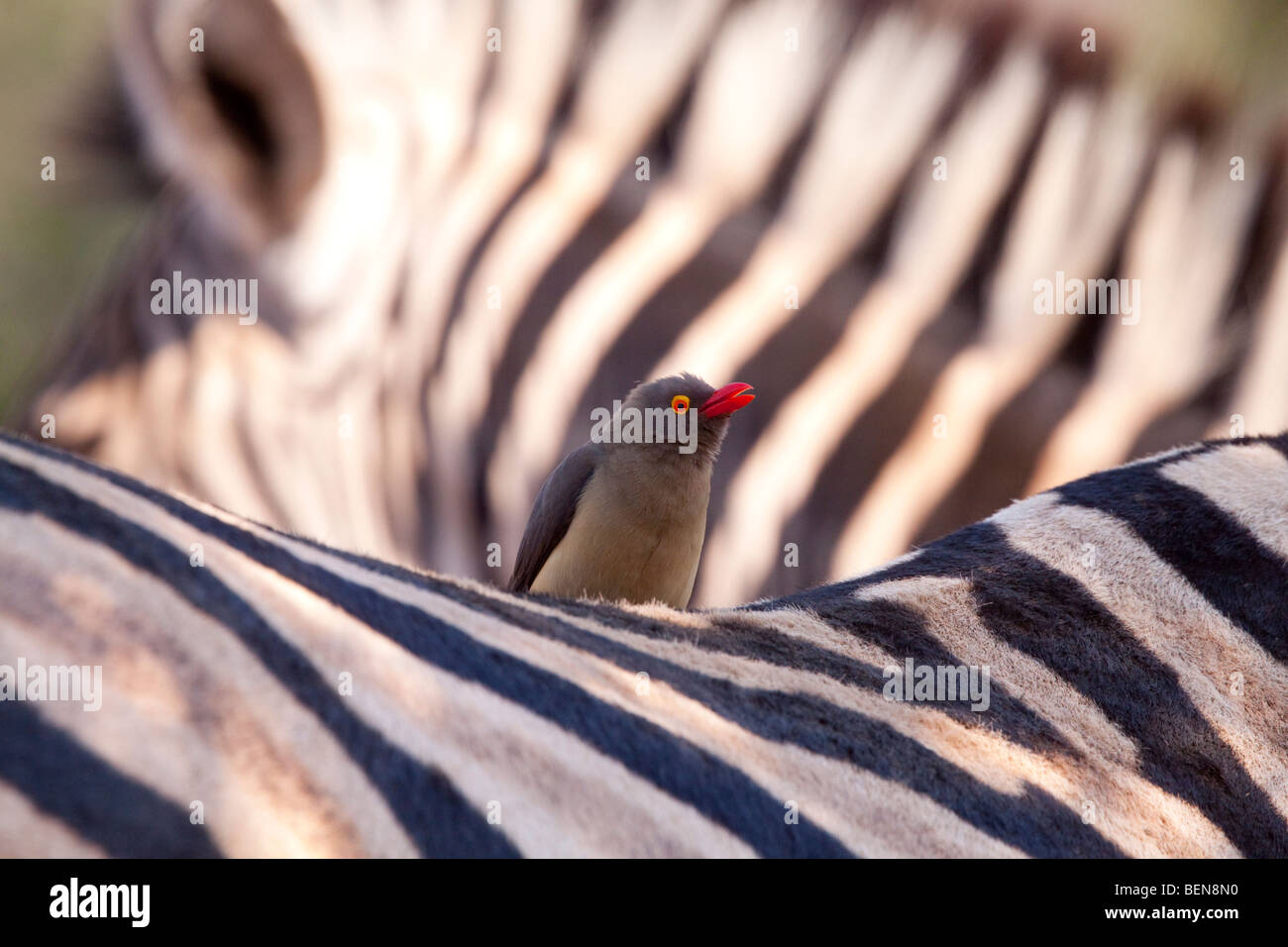 Plains Zebra (Equus Quagga) with Red-billed Oxpecker (Buphagus Erythrorhynchus). Stock Photo
