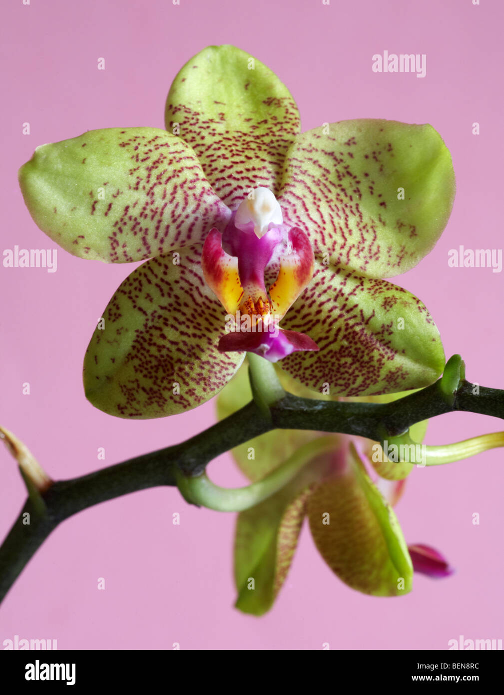 Phalaenopsis Moth Orchid set against pink background in winter - Stock Image