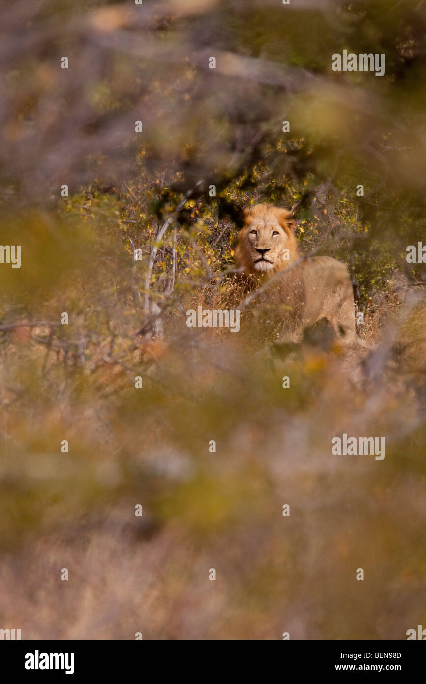 Lion male (Panthera Leo). Alert Lion after a close encounter on foot, peeking through the dense bush. - Stock Image