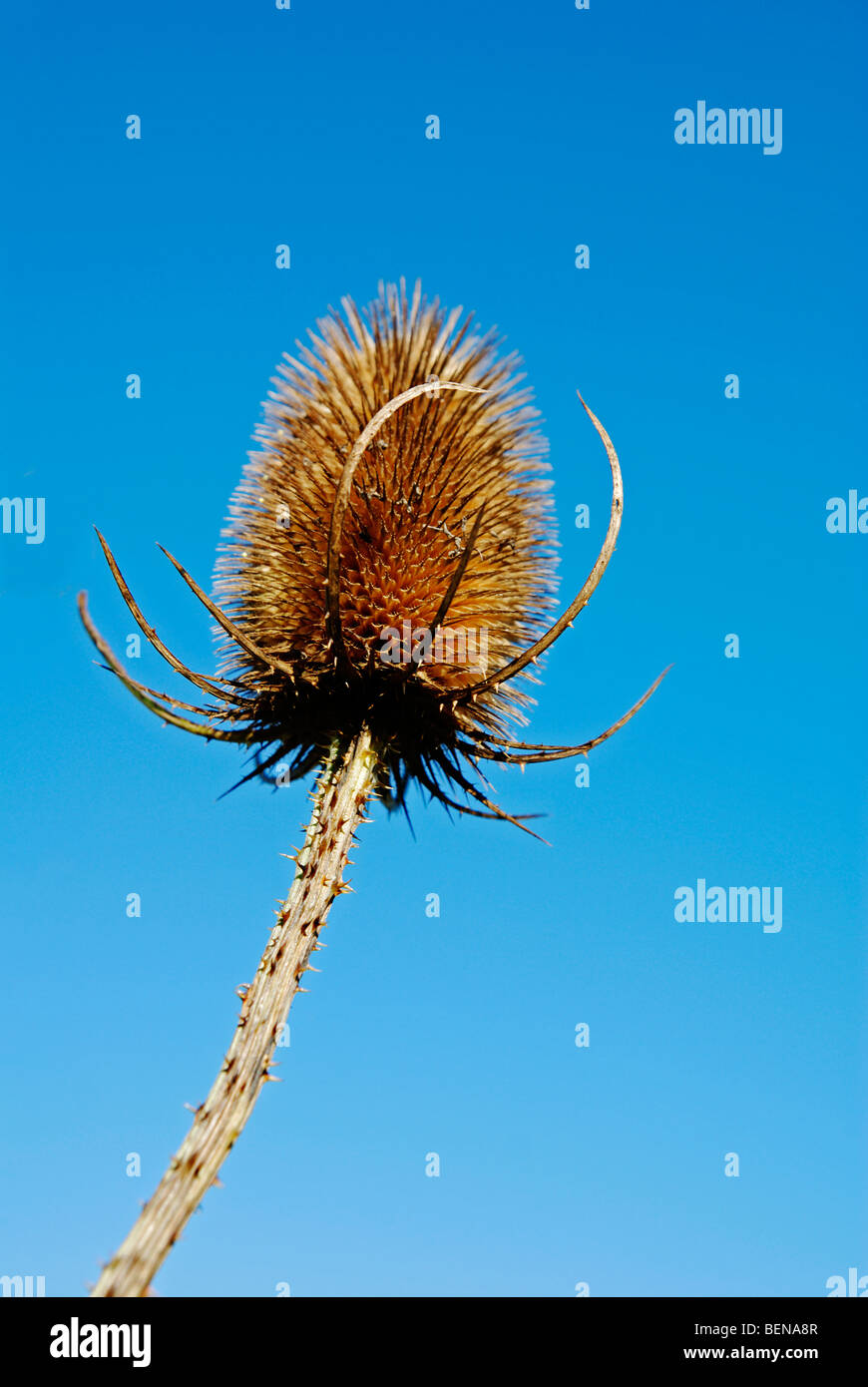 a head of dried teasel against a blue sky background - Stock Image