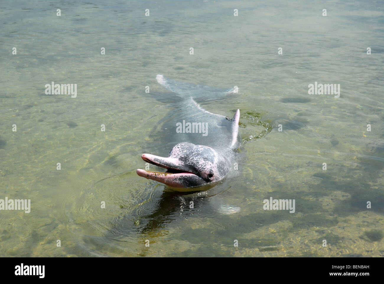 Indo-Pacific Humpback Dolphin, or Pink Dolphin, Dolphin Lagoon, Sentosa Island, Singapore - Stock Image