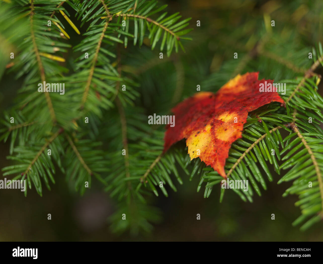 Red fallen maple leaf on Balsam fir - Stock Image