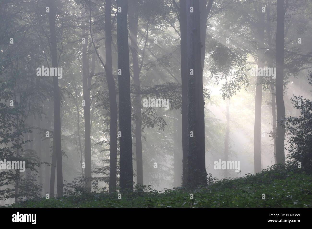Beech forest (Fagus sylvatica) in mist, Flemish Ardennes, Belgium - Stock Image