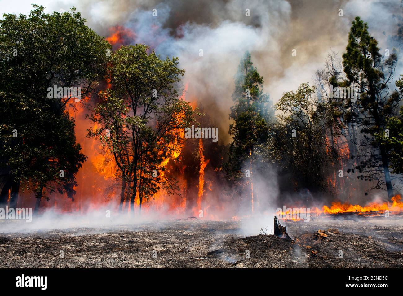 California Knight wildfire devastation in Stanislaus National Forest. CALFIRE / CDF - Stock Image