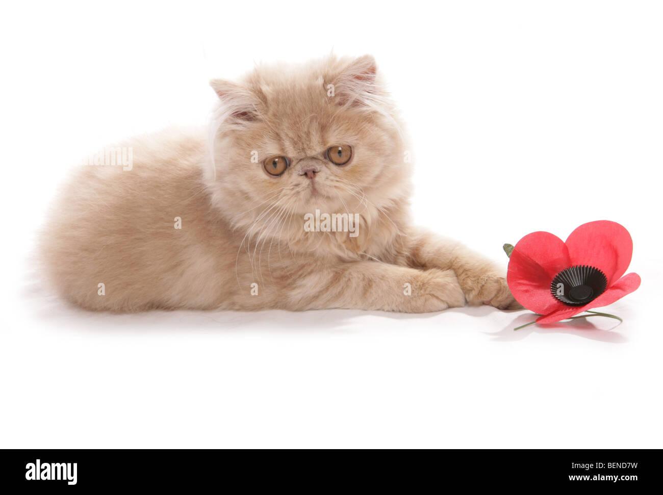 persian kitten remembrance day studio portrait - Stock Image