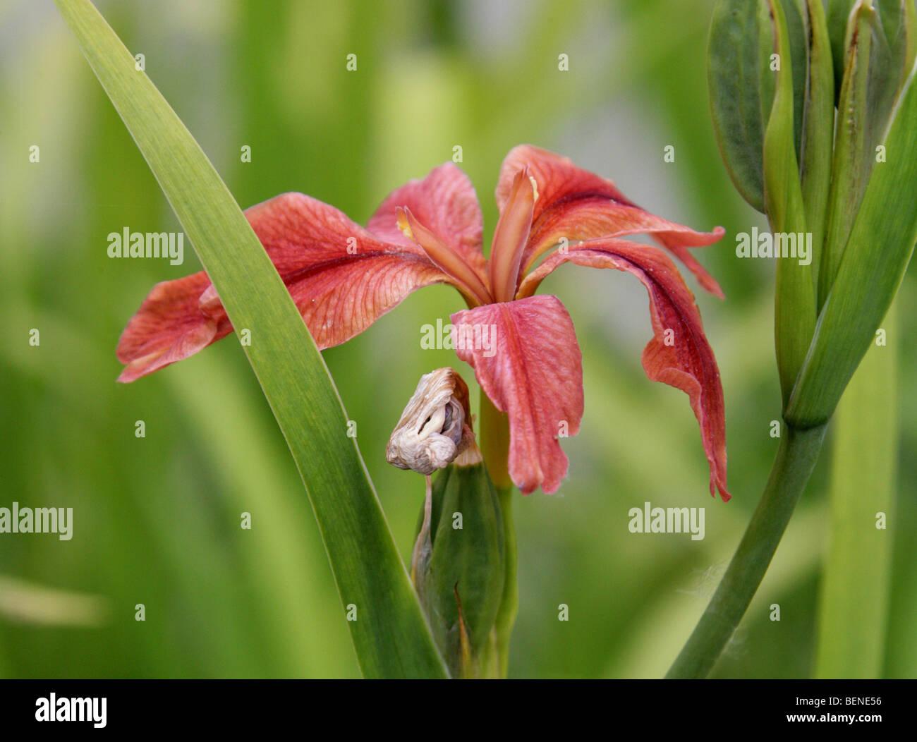 Red Iris Flower Iridaceae Stock Photos Red Iris Flower Iridaceae