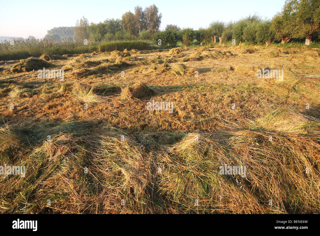 Nature managment, turning hay in hayfield in nature reserve, Belgium - Stock Image