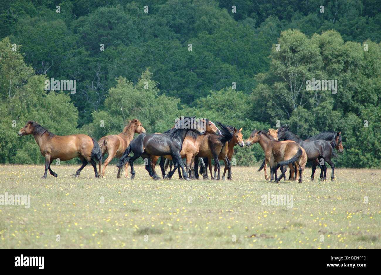 New Forest ponies, Hampshire, England, UK - Stock Image