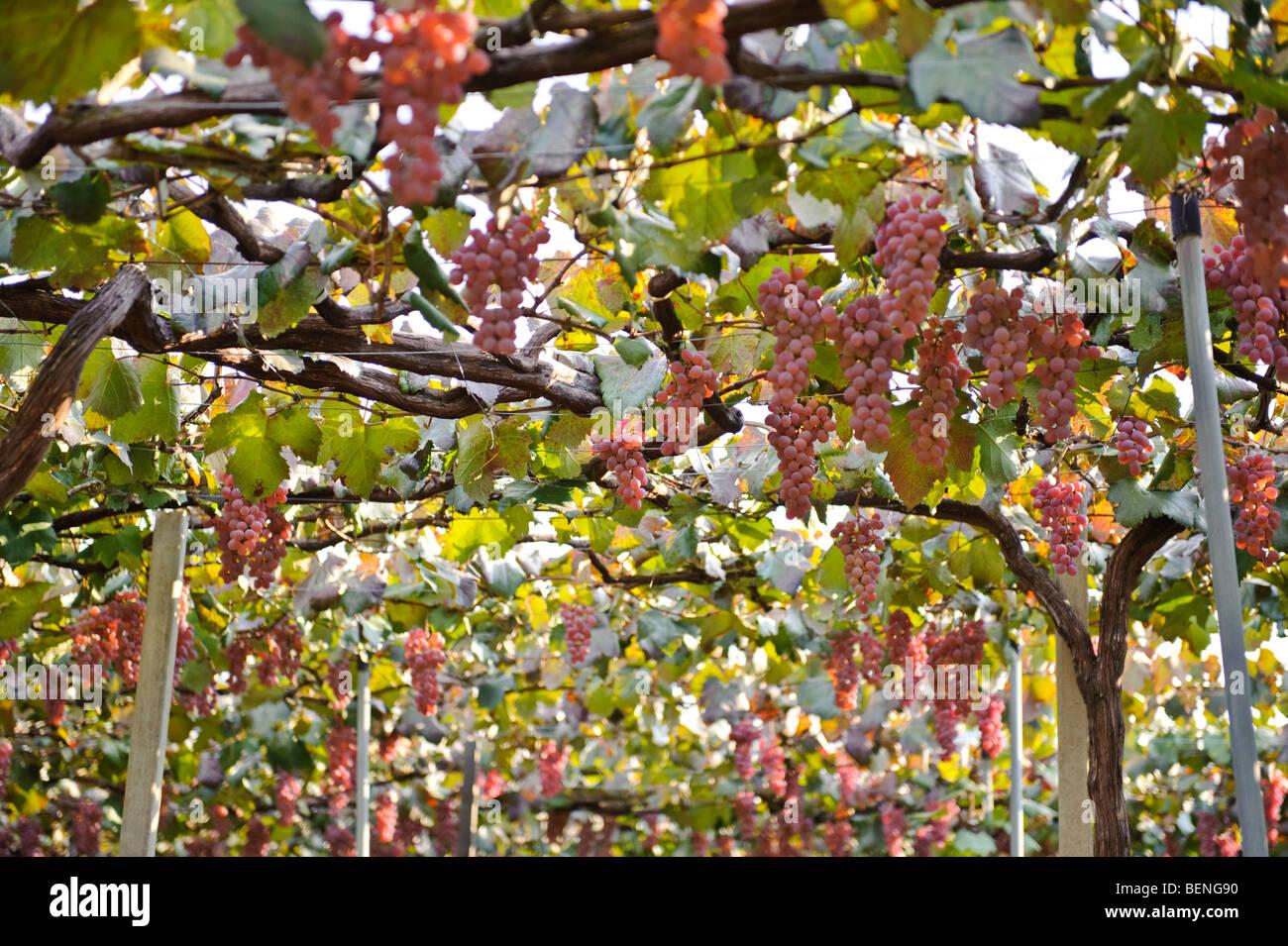 Vineyards in Katsunuma, Yamanashi Prefecture, Japan, October 12, 2009. - Stock Image