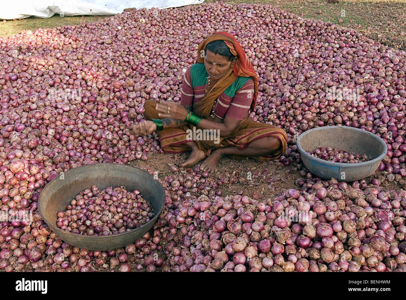 A woman grading onions harvested from the fields Pattadakal Karnataka India - Stock Image