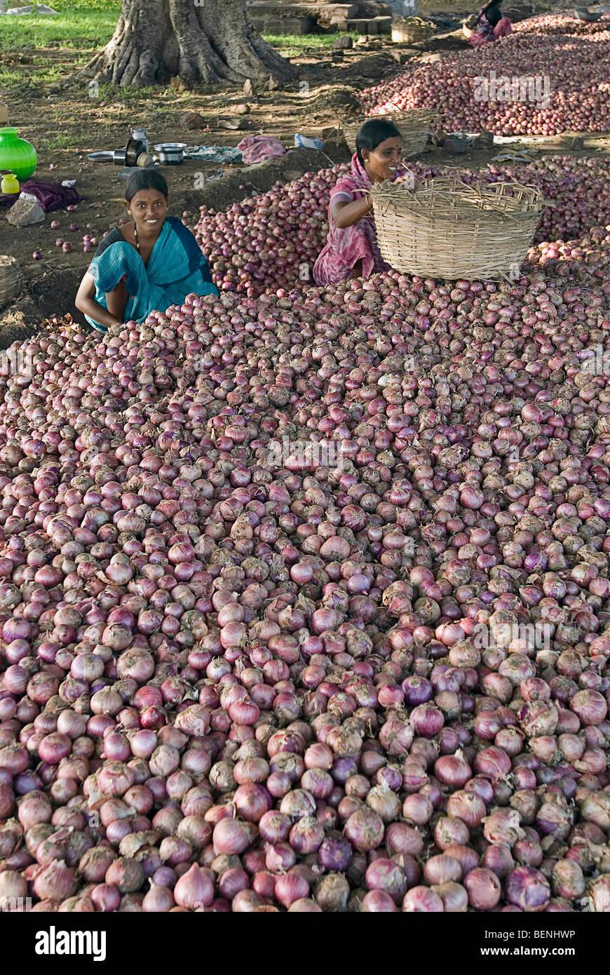 Women grading onions harvested from the fields Pattadakal Karnataka India - Stock Image