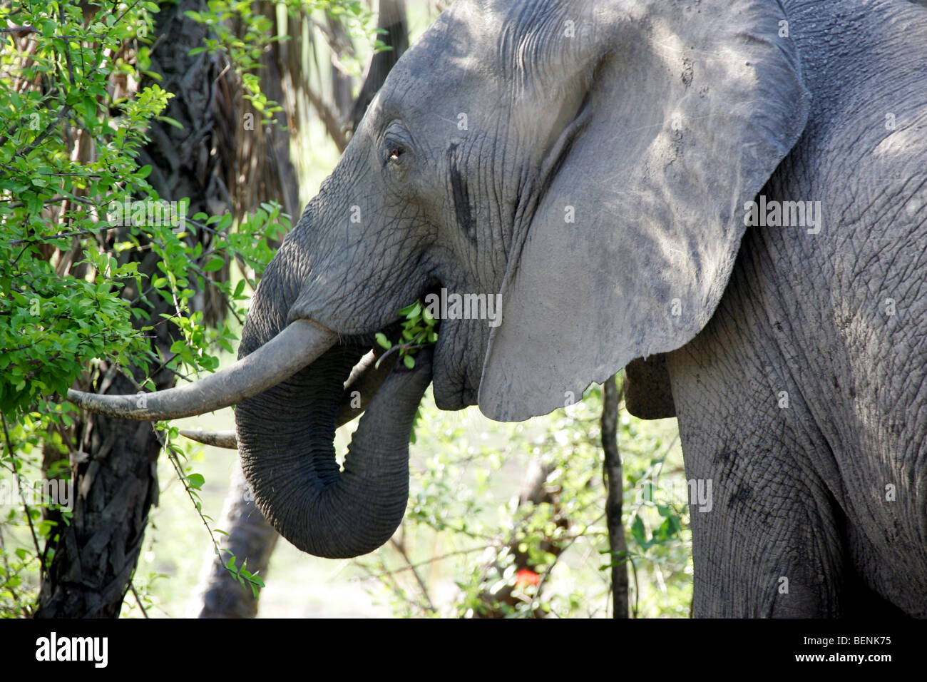 Encounter with an African Elephant in the Selous Game Reserve in Tanzania Stock Photo