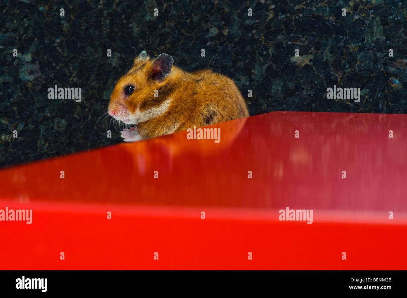 brown Hamster on red background love lovely cute funny animal fun goldhamster stand standing look looking plain - Stock Image