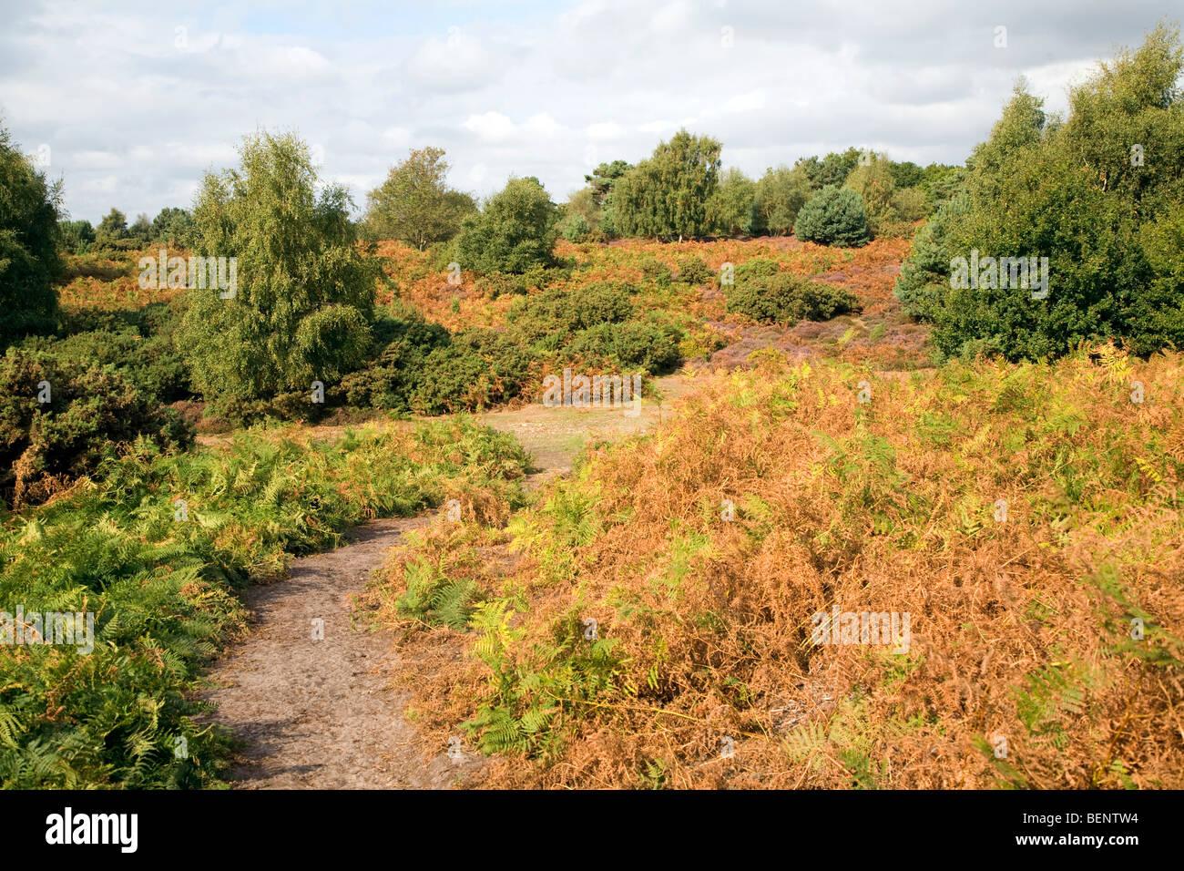 Heathland vegetation autumn, Hollesley Common, Suffolk, England Stock Photo
