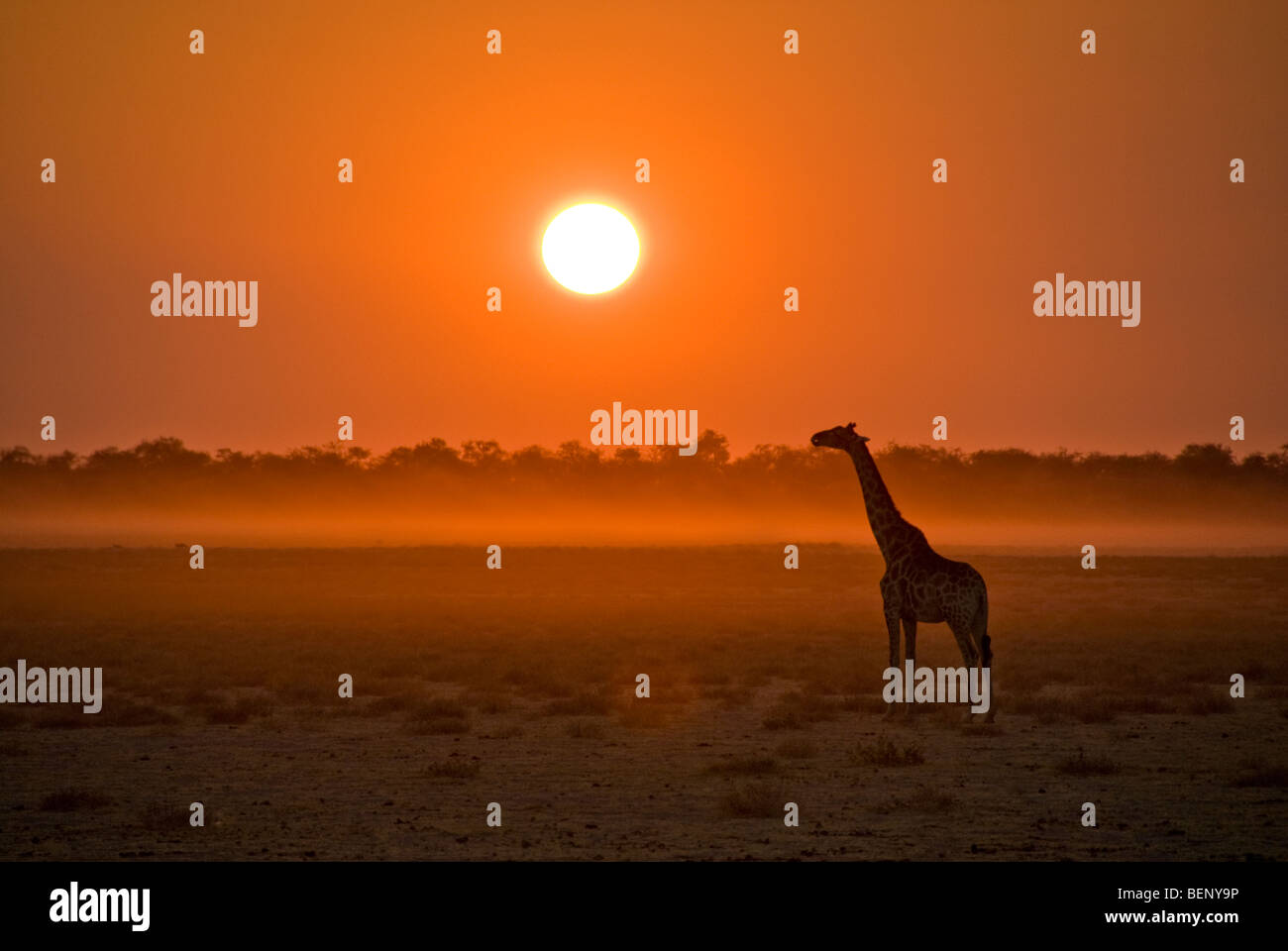 Silhouette of a giraffe at sunset in Etosha National Park, Namibia, Africa. - Stock Image