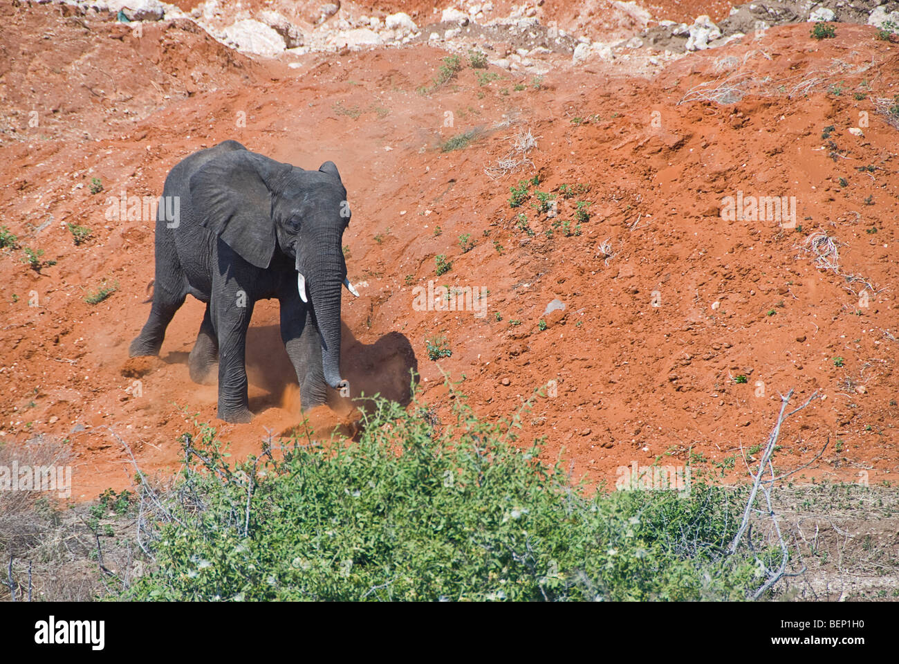 Elephant walking on a very red land near Chobe National Park, Botswana, Africa. - Stock Image