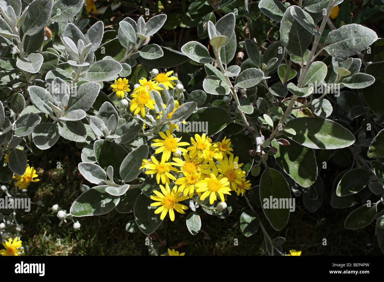 Brachyglottis greyi, also called Senecio greyi, or daisy bush, Surrey, England, UK. Stock Photo