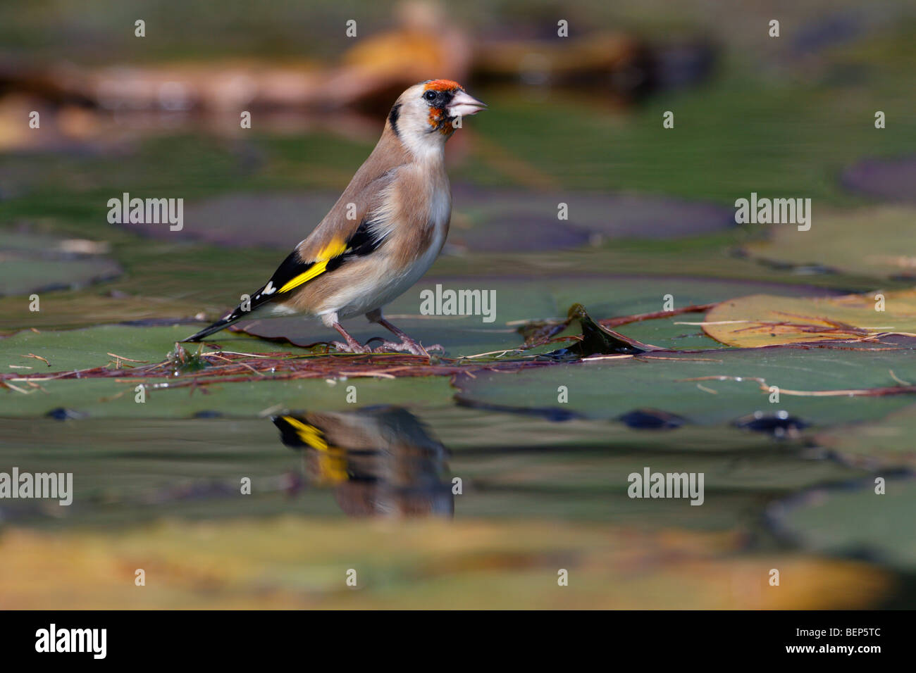 Goldfinch Carduelis carduelis lilly pad - Stock Image