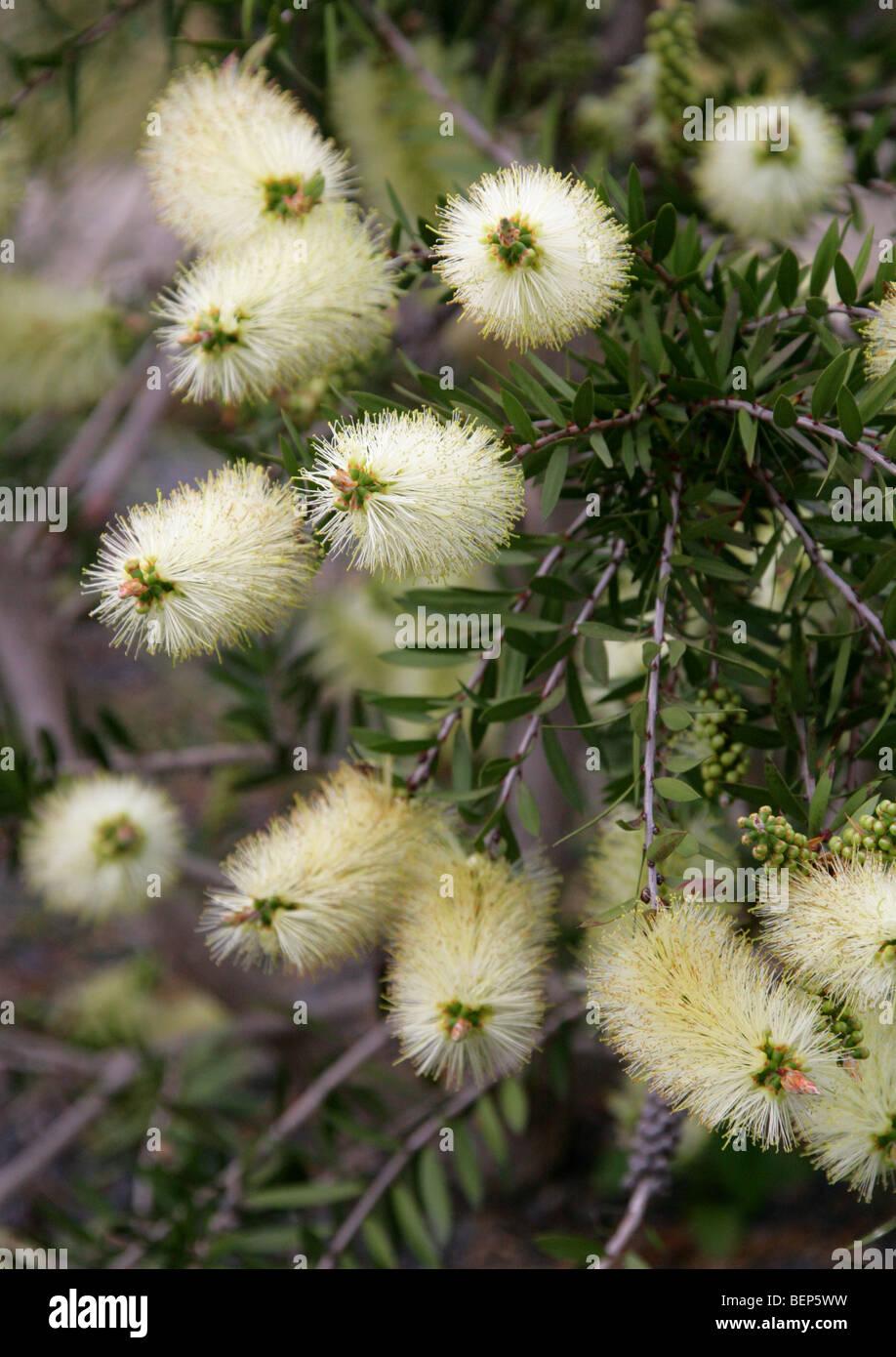 Bottlebrush, Callistemon viridiflorus, Myrtaceae, Tasmania, Australia - Stock Image