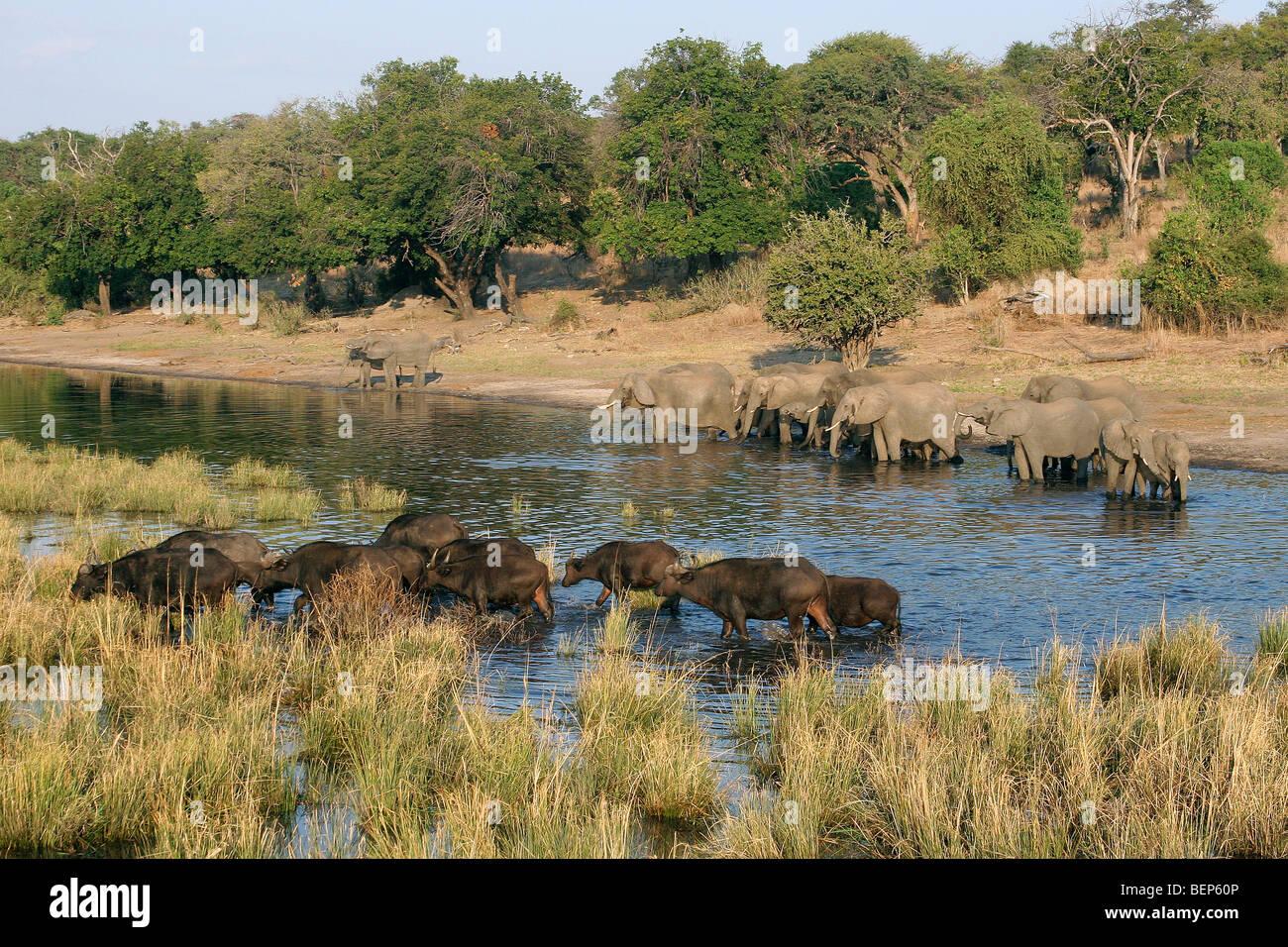 African elephants (Loxodonta africana) and buffalos (Syncerus caffer) drinking in river, Chobe National Park, Botswana, - Stock Image