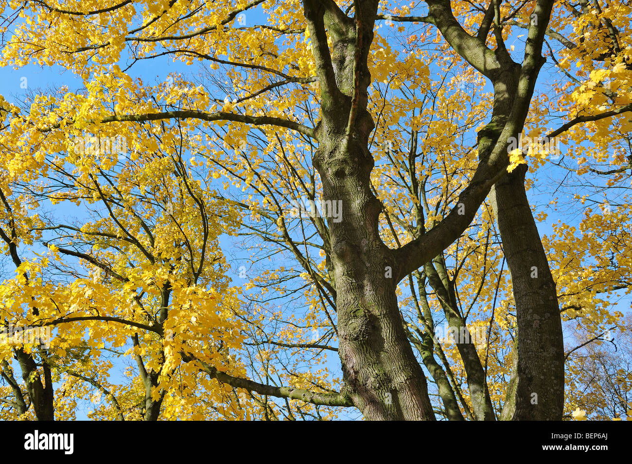 Norway maple tree (Acer platanoides) in autumn colours - Stock Image