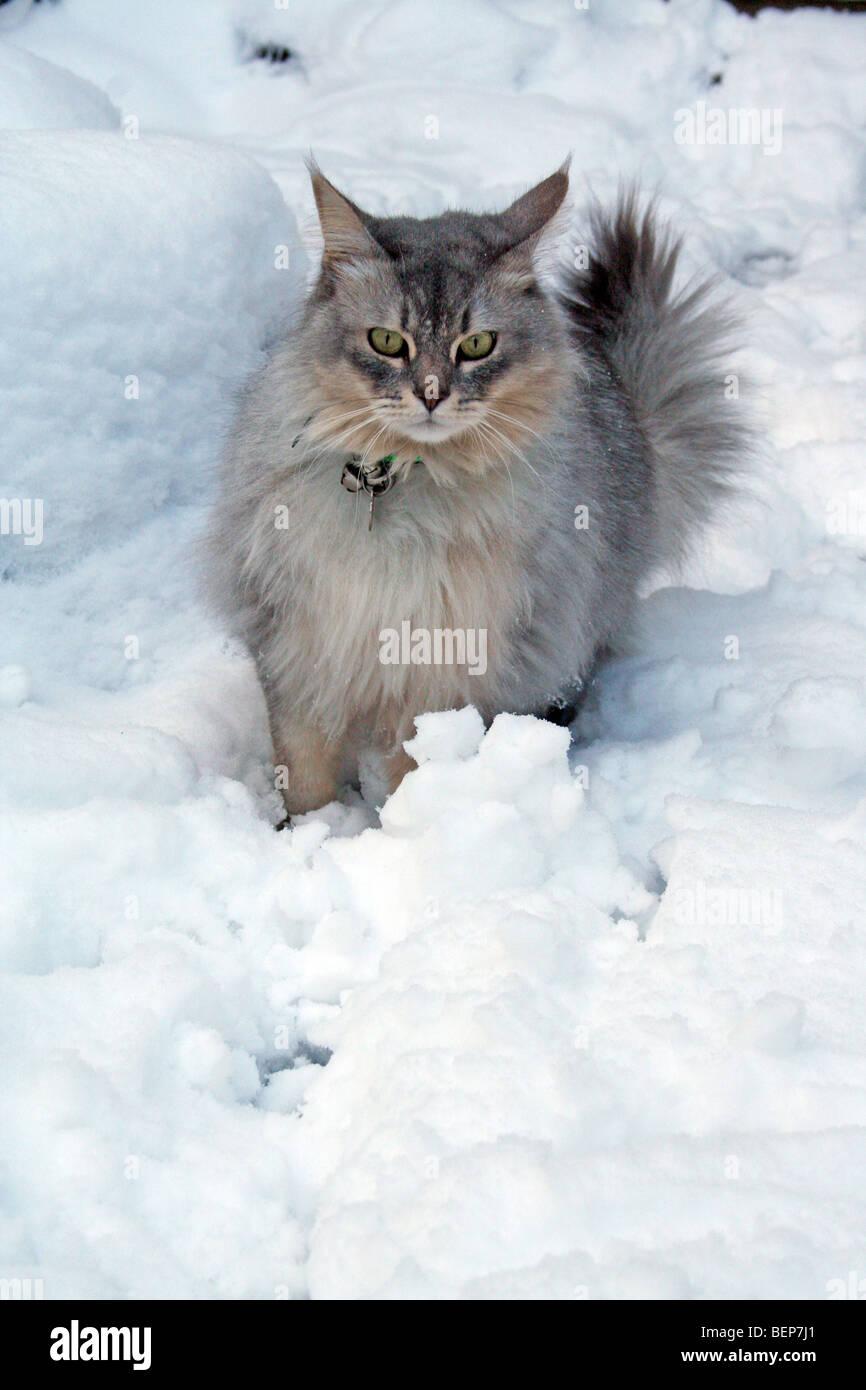 cat in snow - Stock Image