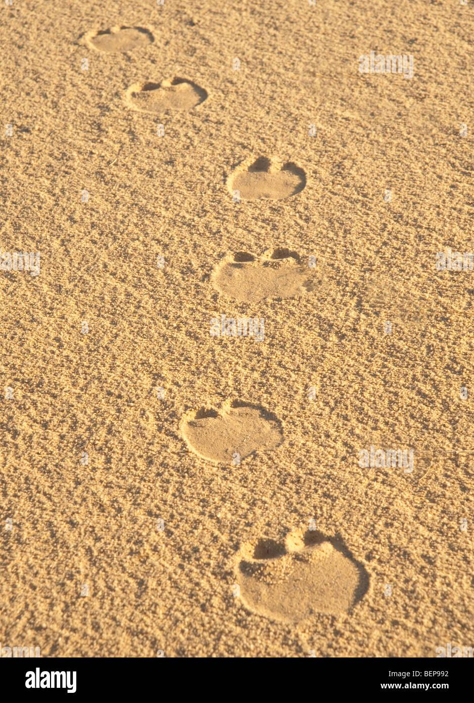 Camel footprints in the desert sand - Stock Image