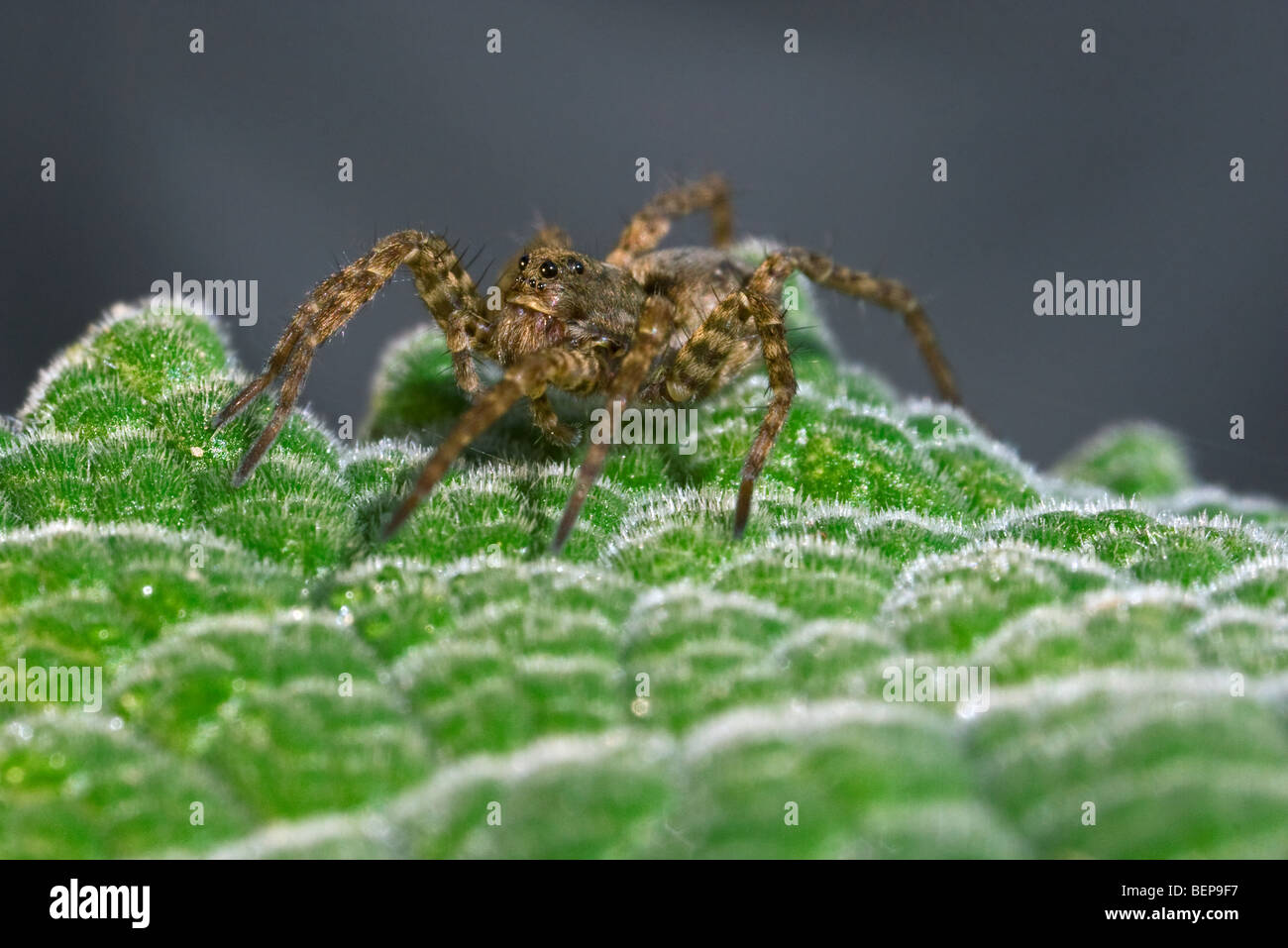 Wolf spider (Pardosa amentata) on leaf, Belgium - Stock Image