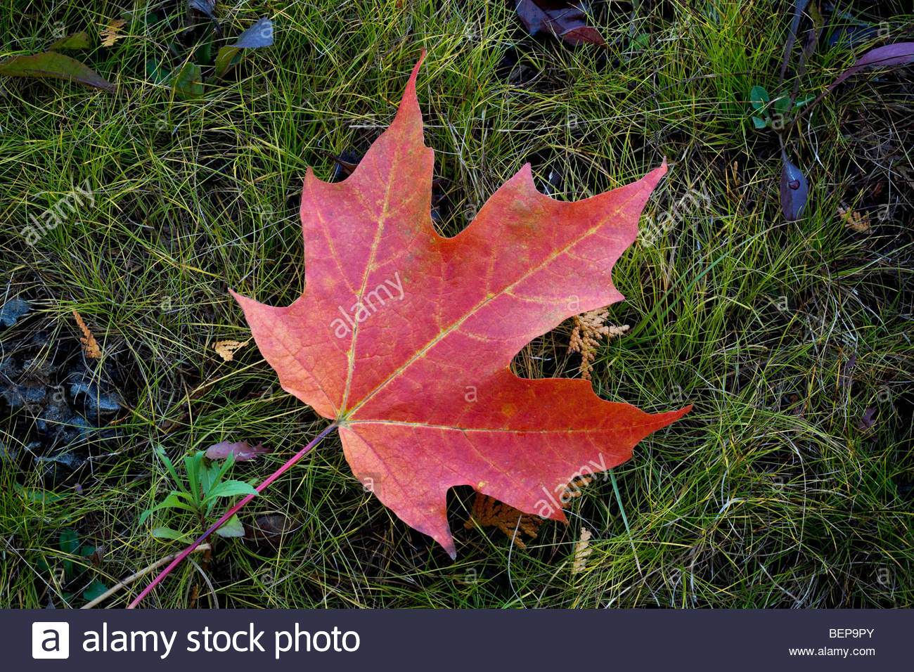 Sugar Maple Leaf Symbol Canada Stock Photos Sugar Maple Leaf