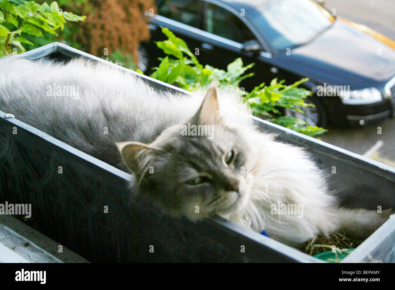 fat grey gray cat lying in a window box - Stock Image