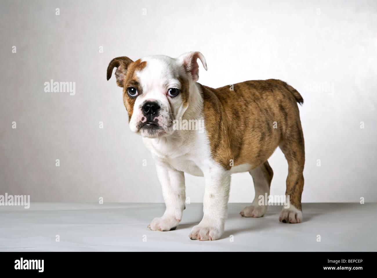 Cute English bulldog pup, UK - Stock Image