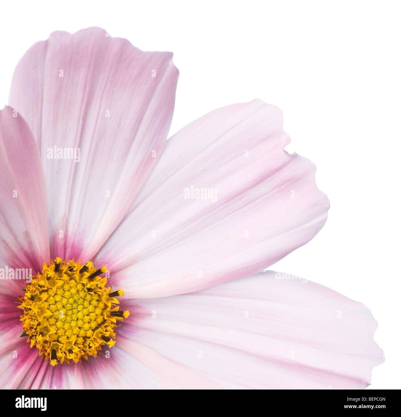 Cosmos Pink Flower - Stock Image