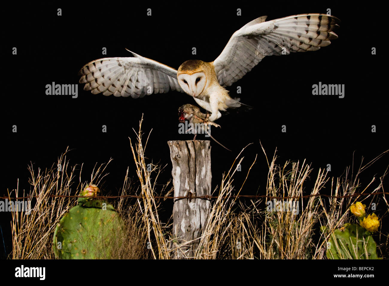 Barn Owl (Tyto alba), adult landing on fence post with mouse prey, Rio Grande Valley, Texas, USA - Stock Image