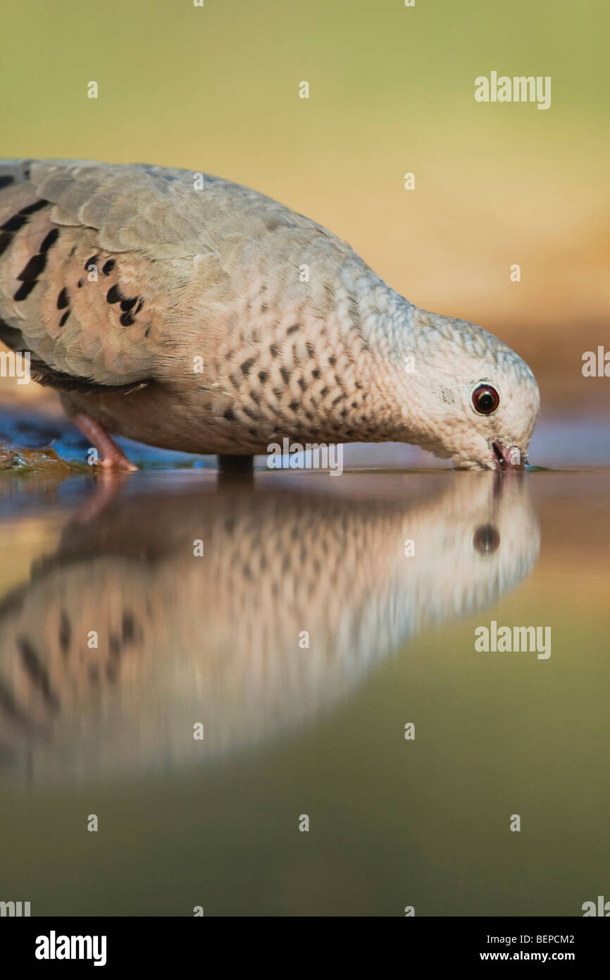 Common Ground-Dove, Columbina passerina, adult drinking, Rio Grande Valley, Texas, USA - Stock Image