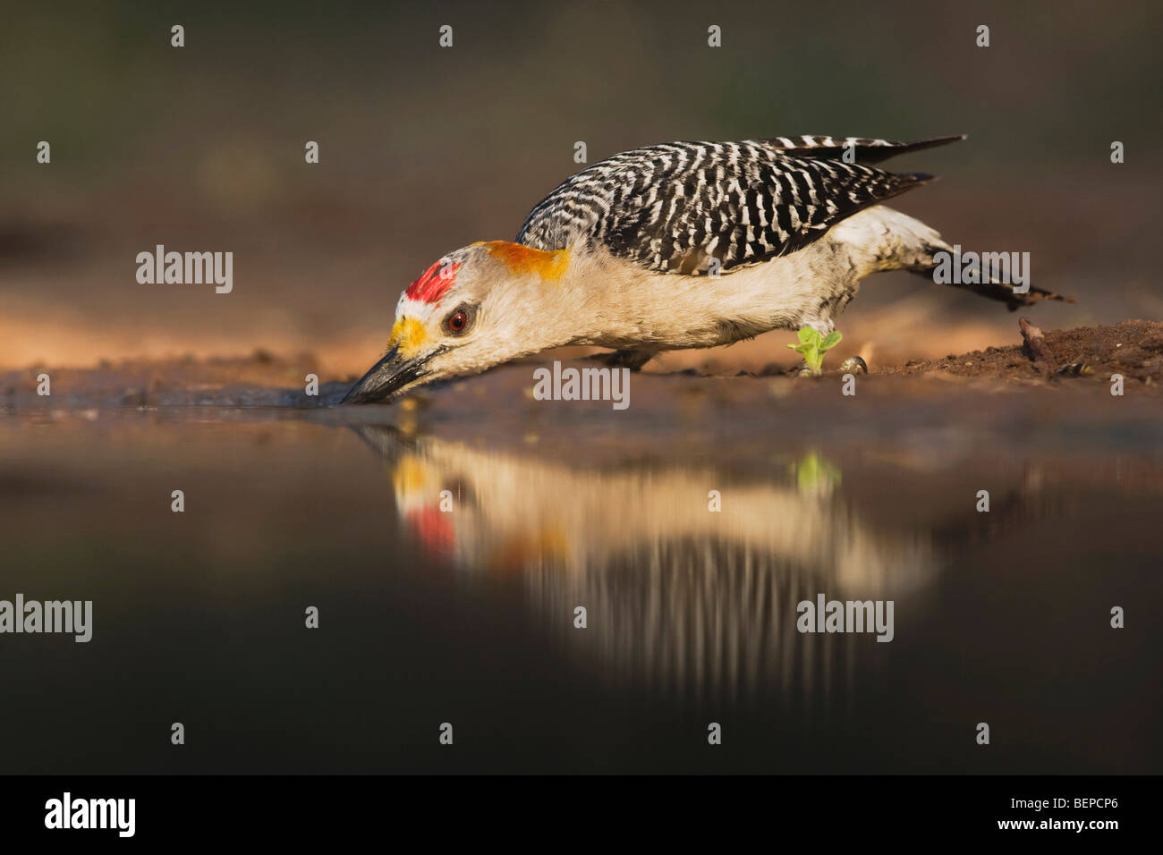 Golden-fronted Woodpecker (Melanerpes aurifrons), male drinking, Rio Grande Valley, Texas, USA - Stock Image