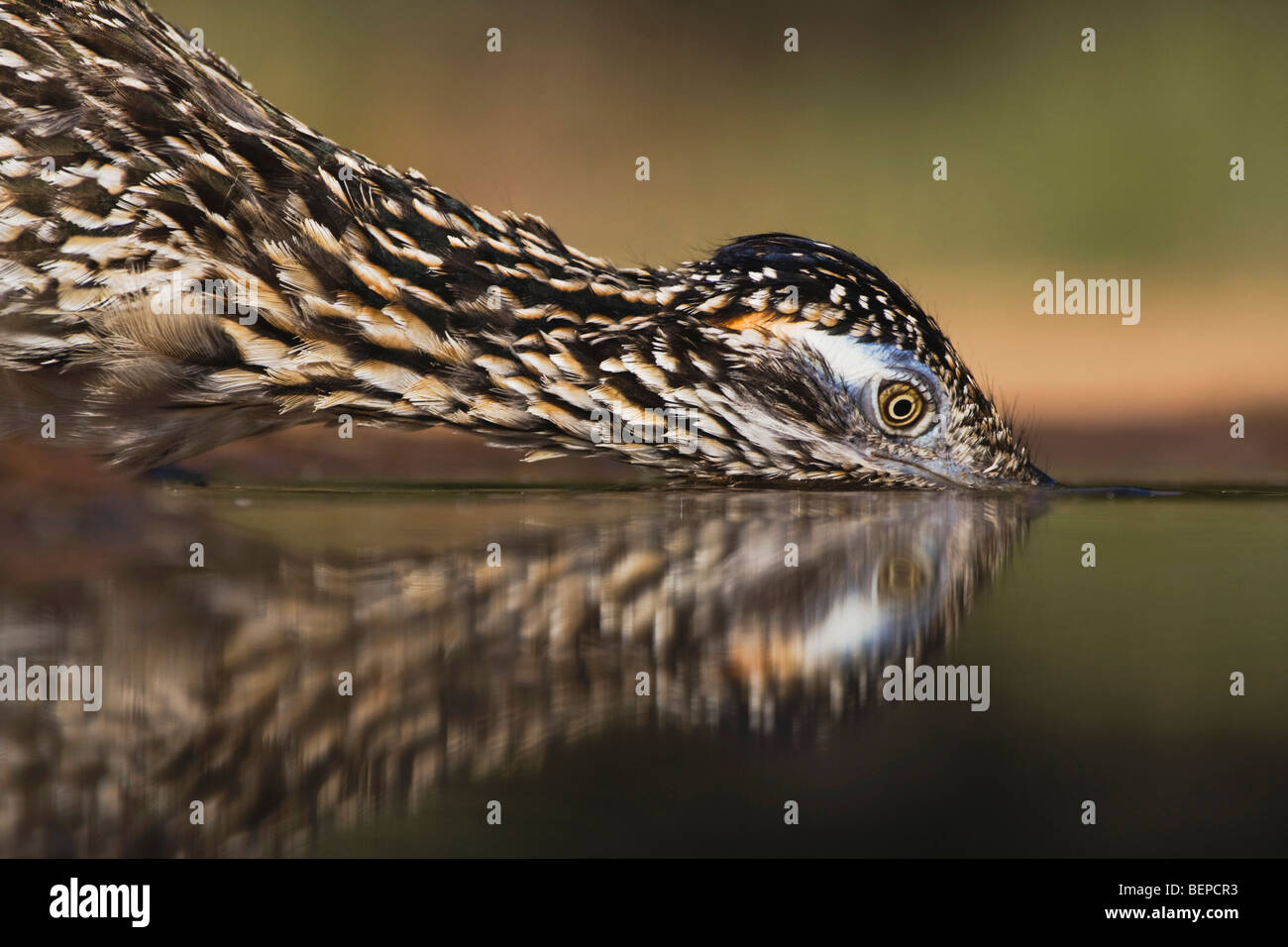 Greater Roadrunner (Geococcyx californianus),adult drinking, Starr County, Rio Grande Valley, Texas, USA - Stock Image